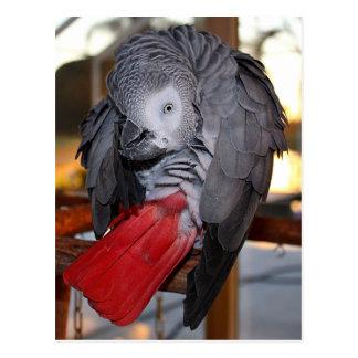 Flexibler afrikanisches Grau-Papagei des Kongos Postkarte