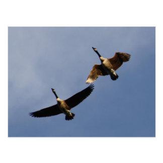Fliegen Geeses. Postkarte
