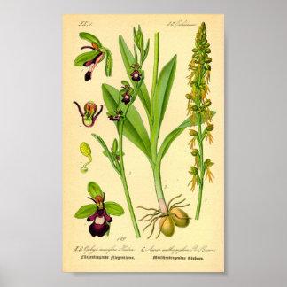 Fliegen-Orchidee (Ophrys insectifera) Poster
