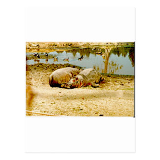 Flusspferde Postkarte