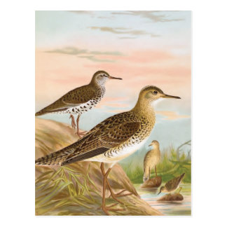 Flussuferläufer-Vintage Vogel-Illustration Postkarte