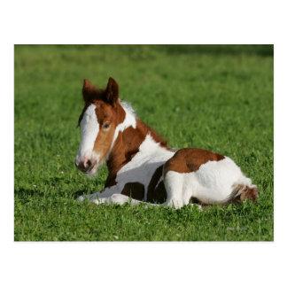 Fohlen, das in Gras legt Postkarte