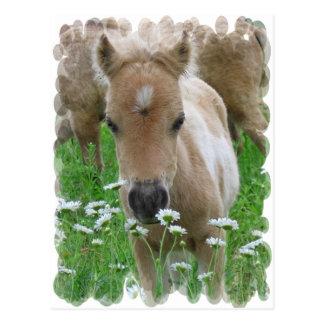 Fohlen-riechende Gänseblümchen-Postkarte Postkarte