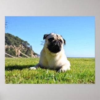 Foto des Hundes der Rasse Carlino Plakatdrucke