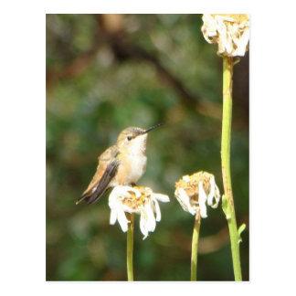 Fotografie des Kolibris stillstehend auf Shasta Postkarte
