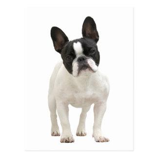 Fotopostkarte der französischen Bulldogge Postkarte