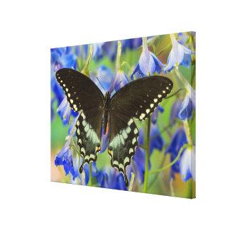 Frack-Schmetterling auf Blau Leinwanddruck