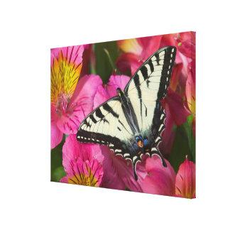 Frack-Schmetterling auf Rosa Leinwanddruck