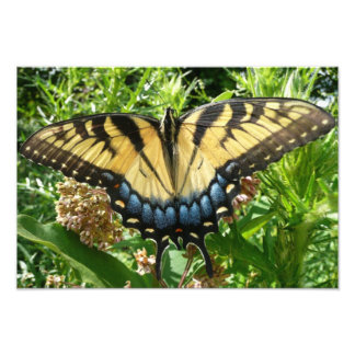 Frack-Schmetterling II bei Shenandoah Fotodruck