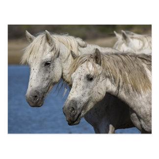 Frankreich, Camargue. Pferde laufen gelassen durch Postkarte
