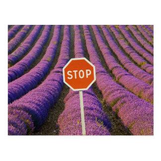 Frankreich, Provence. Reihen des Lavendels und des Postkarten