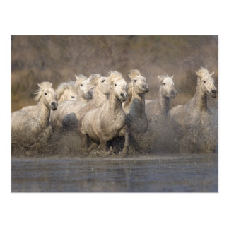 Frankreich, Provence. Weißes Camargue Pferdelaufen Postkarten
