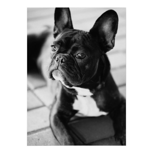 Französisch Bulldog Poster