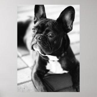 Französisch Bulldog Posterdruck