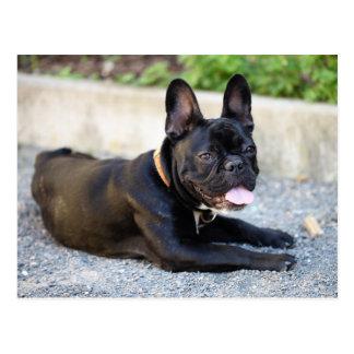 Französisch Bulldog Postkarte