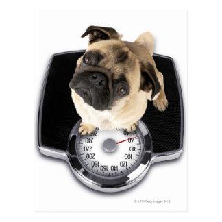 Französische Bulldogge auf den Skalen, die oben Postkarte