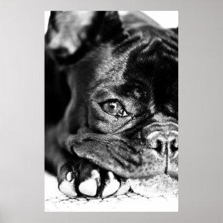 Französische Bulldogge Posterdruck