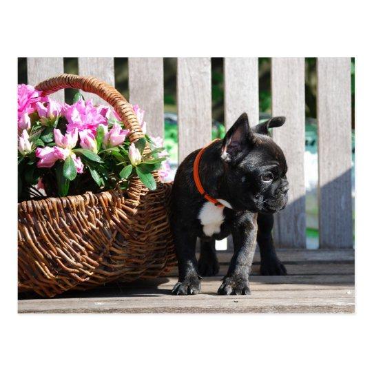 Französische Bulldoggen Postkarte