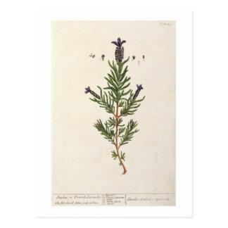 Französischer Lavendel, überziehen 241 von 'einem Postkarte