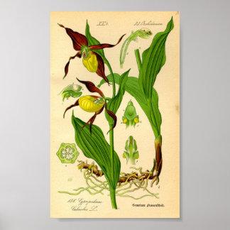 Frauenschuh-Orchidee (Cypripedium calceolus) Poster