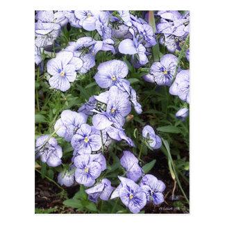 Freches lila Stiefmütterchen Postkarte