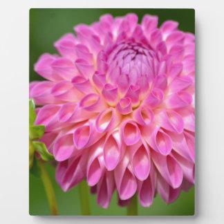 Freigebiges rosa Dahlie-und Knospen-Plakat Fotoplatte