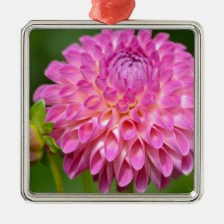 Freigebiges rosa Dahlie-und Knospen-Plakat Silbernes Ornament