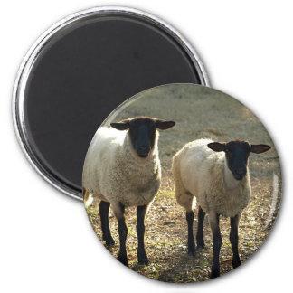 Freundliche Suffolk-Schafebarnyard-Weide später Runder Magnet 5,1 Cm