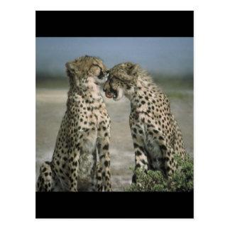 Freundschaft-Geparde Postkarte