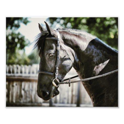 Friesisches Pferd Fotografischer Druck