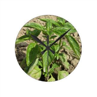 Frische Basilikum-Pflanze des Singles, die auf dem Runde Wanduhr