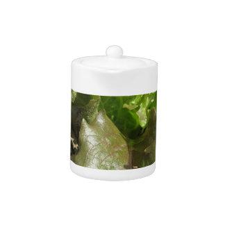 Frischer Kopfsalat, der auf dem Gebiet Toskana,