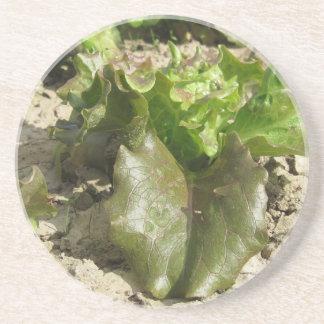 Frischer Kopfsalat, der auf dem Gebiet Toskana, Sandstein Untersetzer