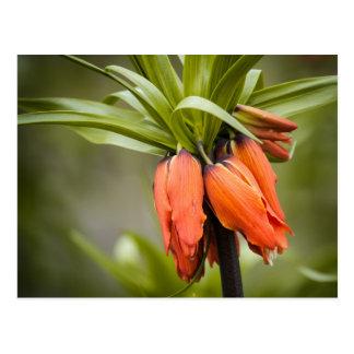 Fritillaria imperialis 'Aurora Postkarten