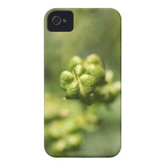 Frucht einer allgemeinen Rue (Ruta graveolens) iPhone 4 Case-Mate Hülle