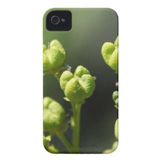 Frucht einer allgemeinen Rue (Ruta graveolens) iPhone 4 Case-Mate Hüllen