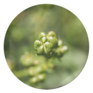 Frucht einer allgemeinen Rue (Ruta graveolens) Melaminteller
