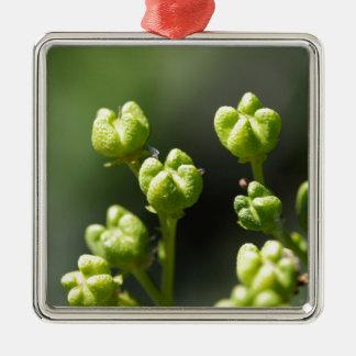Frucht einer allgemeinen Rue (Ruta graveolens) Quadratisches Silberfarbenes Ornament