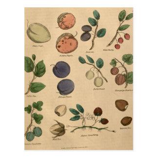 Früchte u. Blätter Postkarte