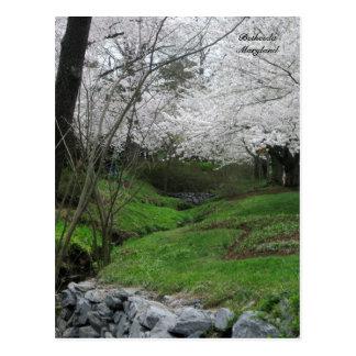 Frühjahr in Bethesda, Maryland Postkarte