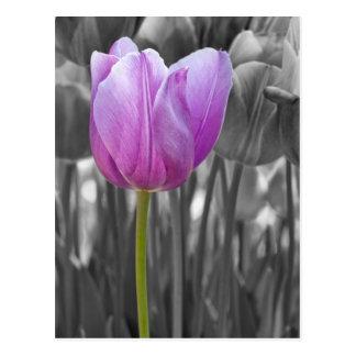 Frühlings-lila Tulpe auf Schwarzweiss Postkarten
