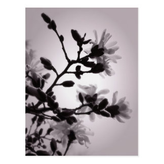 Frühlings-Magnolie Postkarten