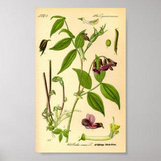 Frühlings-Wicke (Lathyrus vernus) Poster