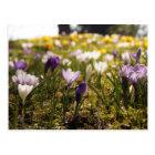 Frühlings Wiese mit Krokus im Gegenlicht Postkarte