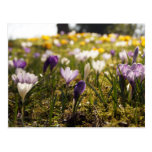 Frühlings Wiese mit Krokus im Gegenlicht Postkarten