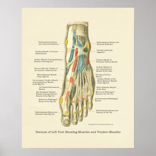 Fuß-u. Knöchel-internes Anatomie-Plakat Poster | Zazzle