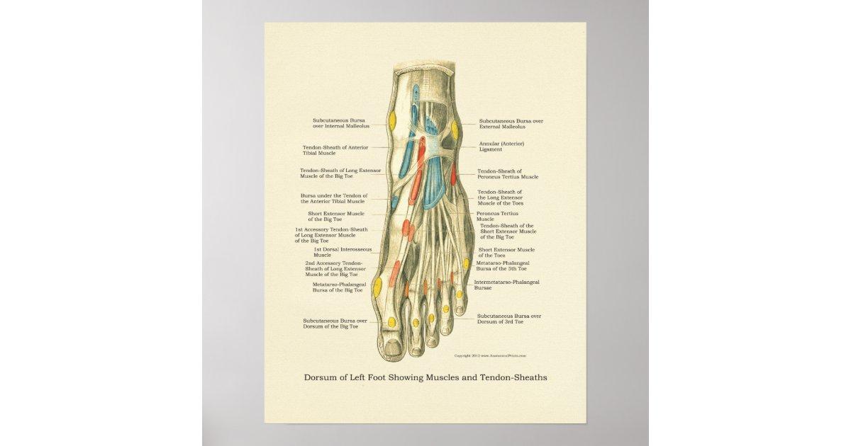 Ausgezeichnet Anatomie Fuß Und Knöchel Galerie - Anatomie Ideen ...