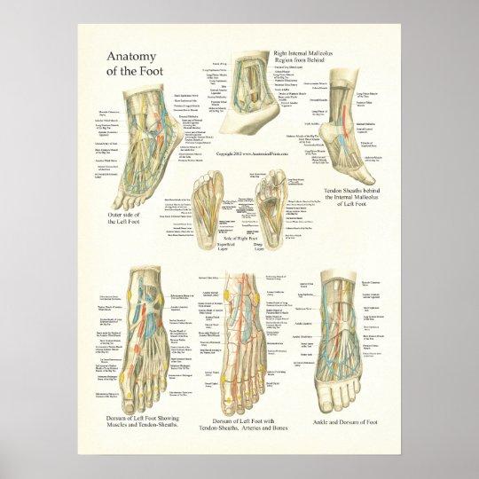 Fuß-und Knöchel-Anatomie-Plakat Poster | Zazzle