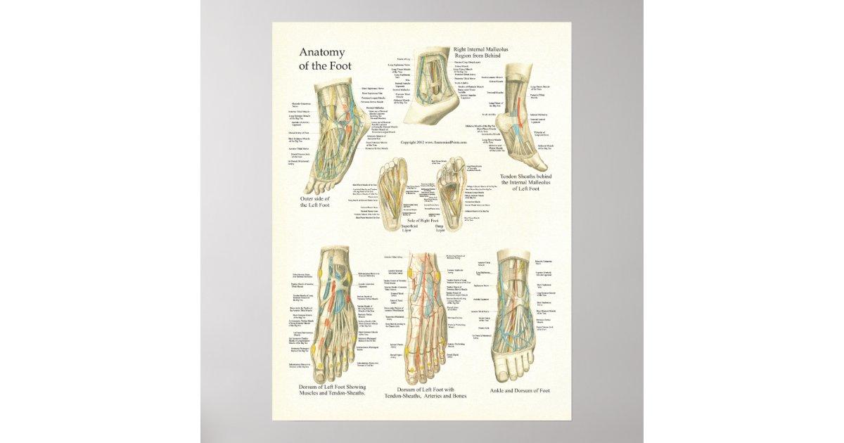 Fuß-und Knöchel-Anatomie-Plakat Poster   Zazzle