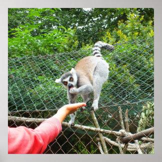 Füttern eines Lemur Poster